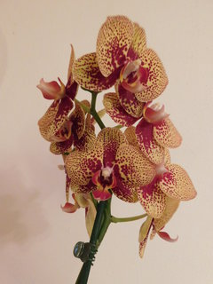 FOTKA - orchidej žlutá v dalším roce