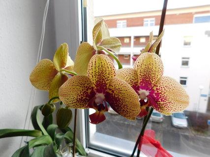 FOTKA - orchidej žlutá
