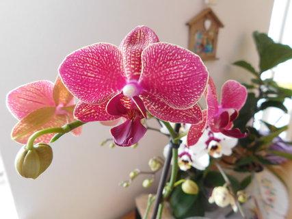 FOTKA - orchidej tmavěrůžová