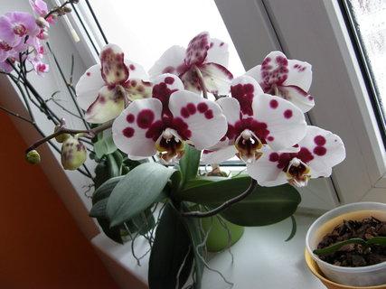FOTKA - orchidej dalmatin