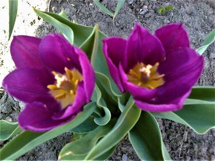 FOTKA - Dva fialové tulipány