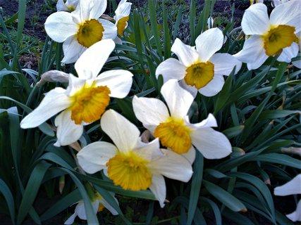 FOTKA - Narcisky v květu