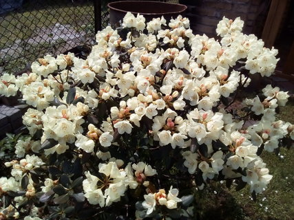 FOTKA - Rhododendron krémový