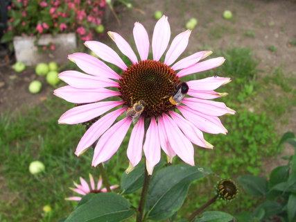FOTKA - Květ s včelkou i čmeldou