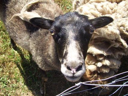 FOTKA - Ovečka u známých - vedle beran, který mě napadl