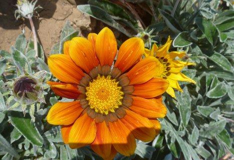FOTKA - gazánie oranž.,
