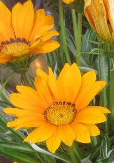 FOTKA - gazánie oranžové