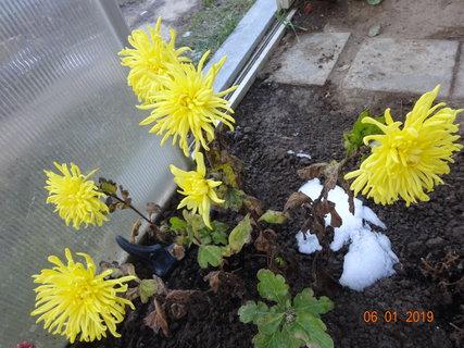 FOTKA - Žlutá chryzantéma kvete ve skleníku