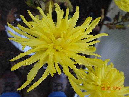 FOTKA - Detail žluté chryzantémy