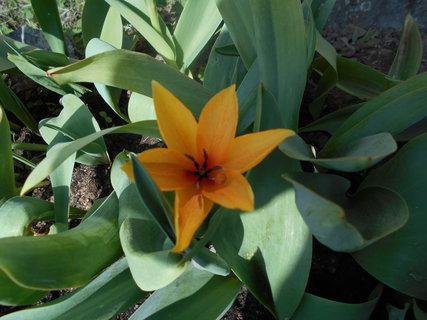 FOTKA - Další skalničkový tulipán, oranžový