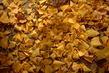 jinan vzacny dvoulalocny,zlate listy