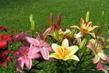 Lilie na zahradě - směs