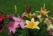 Lilie na zahradě 2