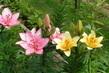 Lilie na zahradě 3