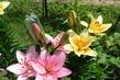 Lilie na zahradě 4