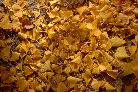 FOTKA - jinan vzacny dvoulalocny,zlate listy