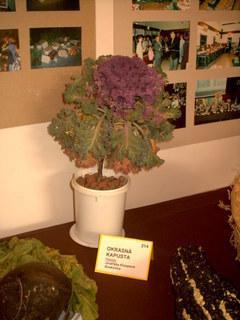 FOTKA - zahradkarska vystava,kapusta