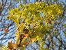 Květy javoru (11.4.)