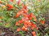 Větvička s květy kdoulovce (27.4.)