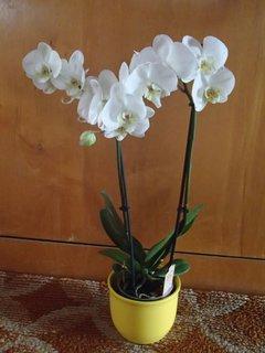 FOTKA - nová  biela orchidejka