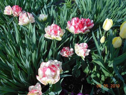 FOTKA - Plnokvěté tulipány
