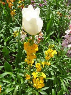 FOTKA - v Č.Krumlově tulipán na zámku