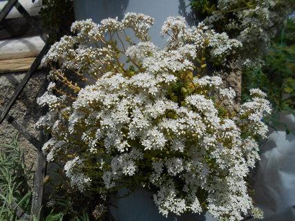 FOTKA - Bílé květy rozchdníku