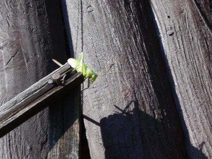 FOTKA - Zelený špion - koník