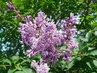 Později kvetoucí druh šeříku (10.6.)