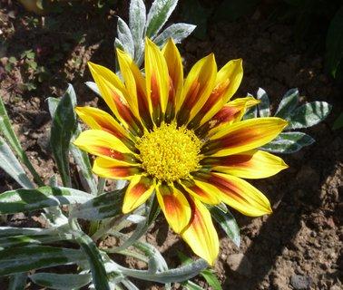 FOTKA - gazanie má sluníčko ráda