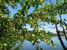 Mirabelky na břehu rybníka (23.7.)