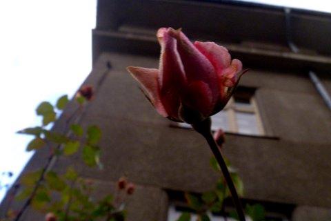 FOTKA - 8.prosince poupátko růže