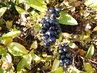 Černé podzimní plody (26.10.)