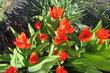 Tulipánky červené zdobí sídliště