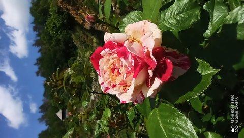 FOTKA - Strakatá růže