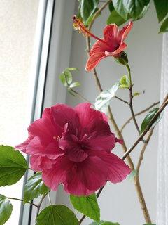 FOTKA - Dva květy na jednom okně (28.5.)