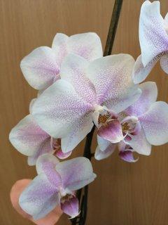 FOTKA - biela s ružovkastými prskami