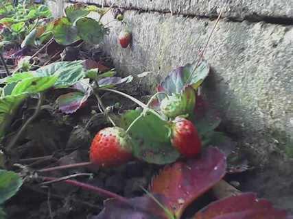 FOTKA - jahody v listopadu
