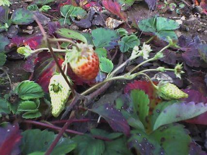 FOTKA - jahody stále zrají