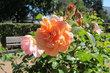 Sídliště v růžích