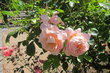 Růže na kraji parku