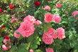 O růže se stará OC