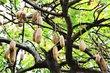 Tamarind indický je 20 až 30 metrů vysoký strom, plody chutí připomínají   fíky a nebo víno