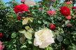 Před OC u podzemního parkoviště - a přesto se zde růžím daří