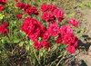 Poslední růže v parku