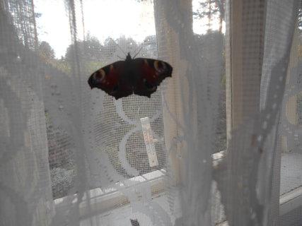 FOTKA - Motýl v sednici v chalupě