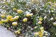 Žlutá kvítka odolávají