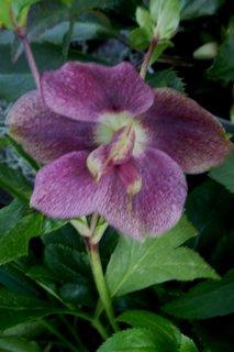 FOTKA - květina-čemeřice