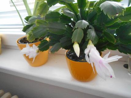 FOTKA - Bílý květ vánočního kaktusu