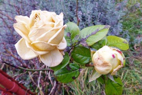 FOTKA - růže venku 9.prosince